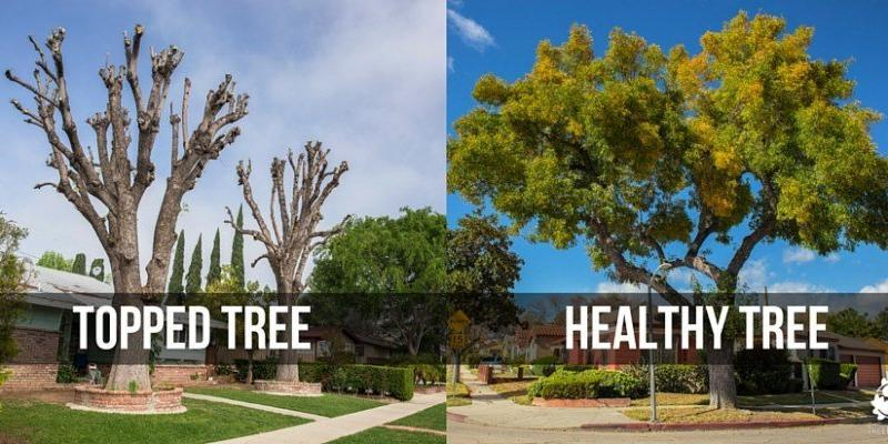 Tree Topping 4 Reasons Why You Should Not Top Your Trees